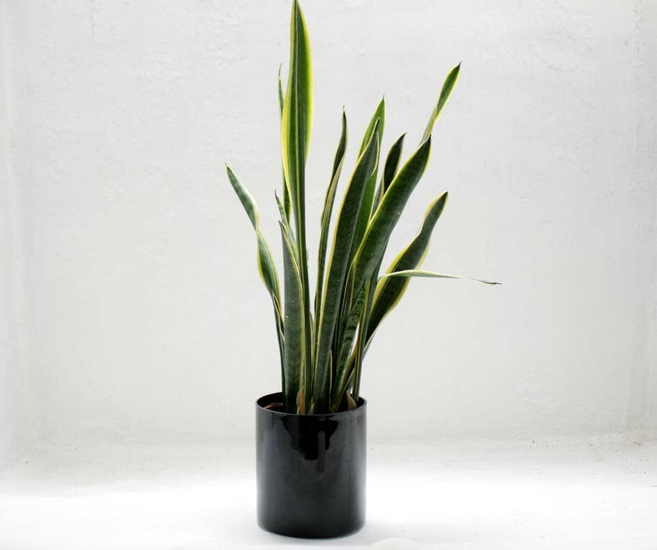Small Snake Plant