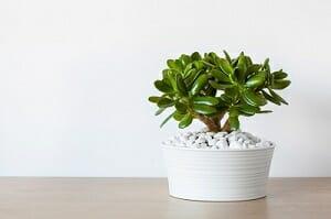 houseplant Crassula ovata jade plant money tree in white pot