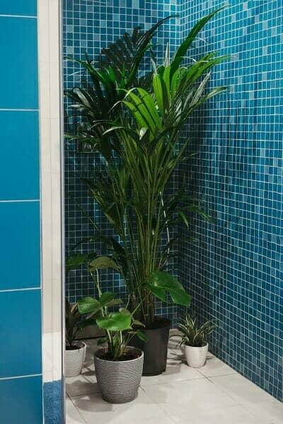 Watering indoor tropical plants in the bathroom.